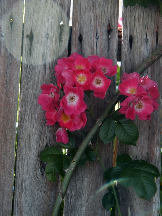 Orb roses - Image 0