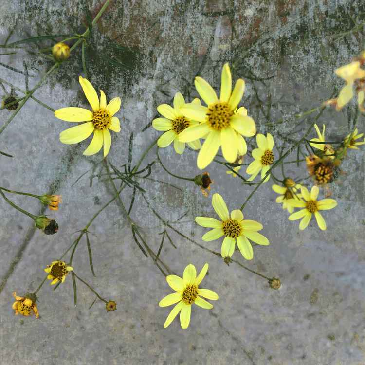 Little Yellow Flowers Two