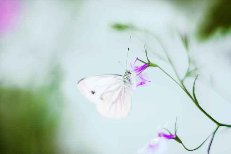 Fairy butterfly -