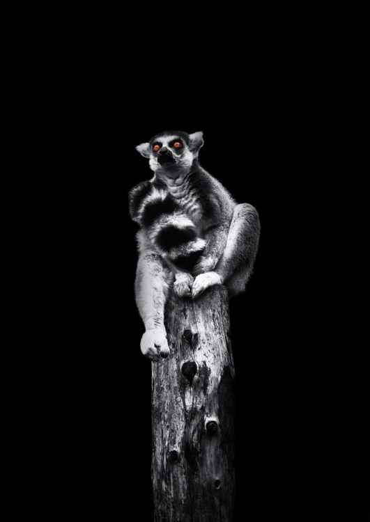 Ring tailed Lemur -