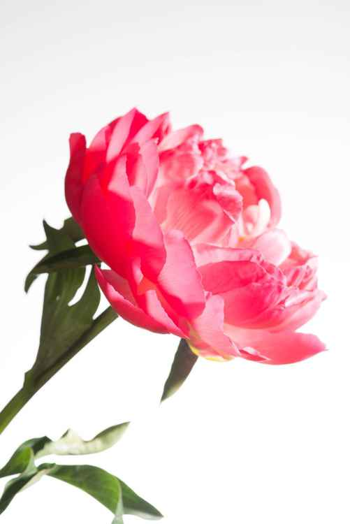 Vivid Peony, printed on plexi glass -