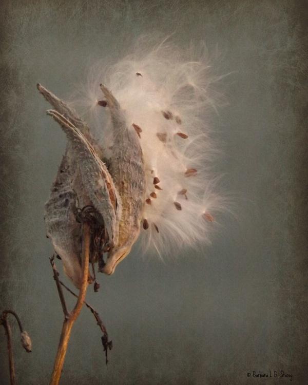Milkweed Pod, No. 2 - Image 0