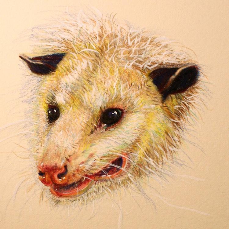 SOLD   Opossum portrait Americas only marsupial - Image 0
