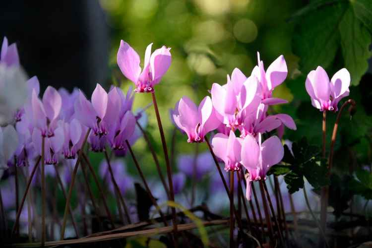 Cyclamen in an English Wood