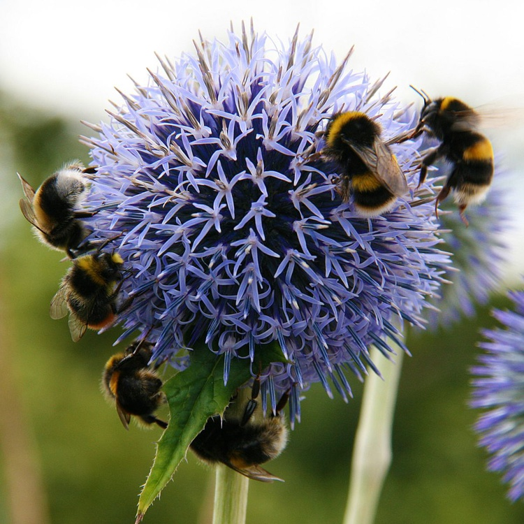 BEES ON AN ALLIUM - Image 0