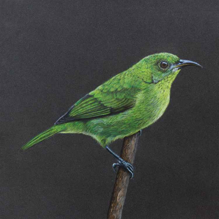 "Original pastel drawing ""Green honeycreeper"" -"