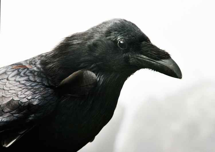 friendly raven -