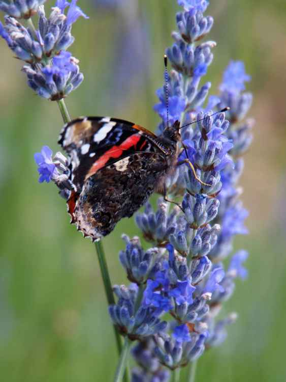 Red Admiral No. 2