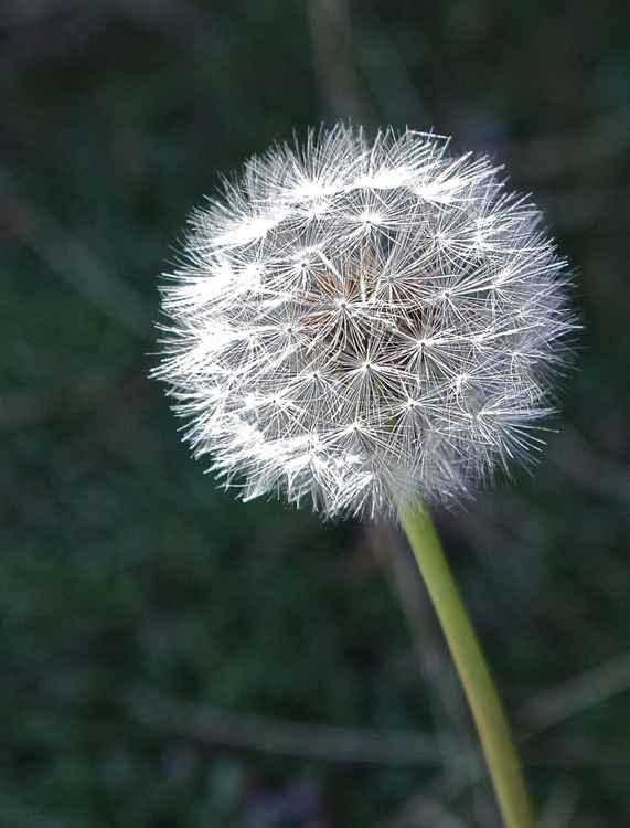 Dandelion Spirit   2/25 Limited Edition -