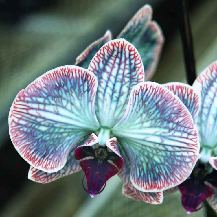 FESTIVE ORCHID -