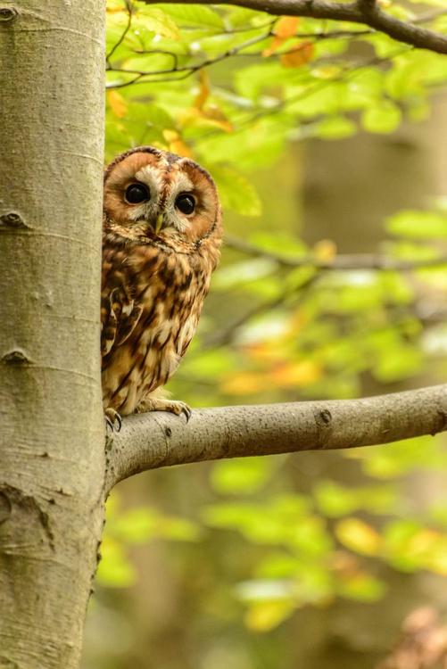 Peeping Tawny Owl  - Limited Edition Print - Image 0