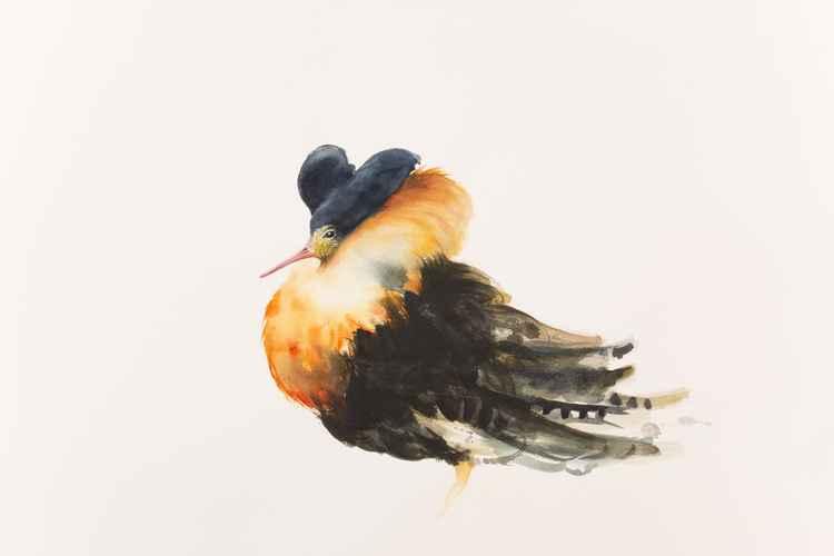 Ruff (Philomachus pugnax) -