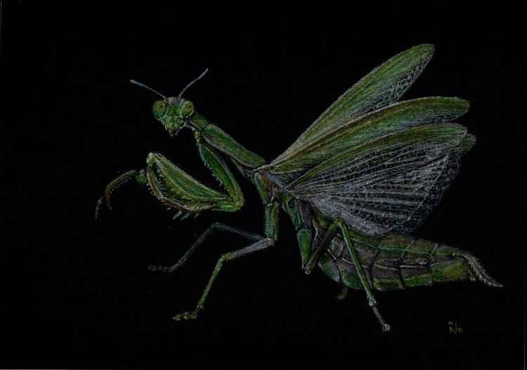 Mantis -