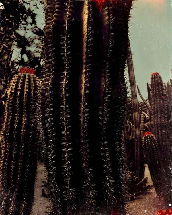 Cactus red -