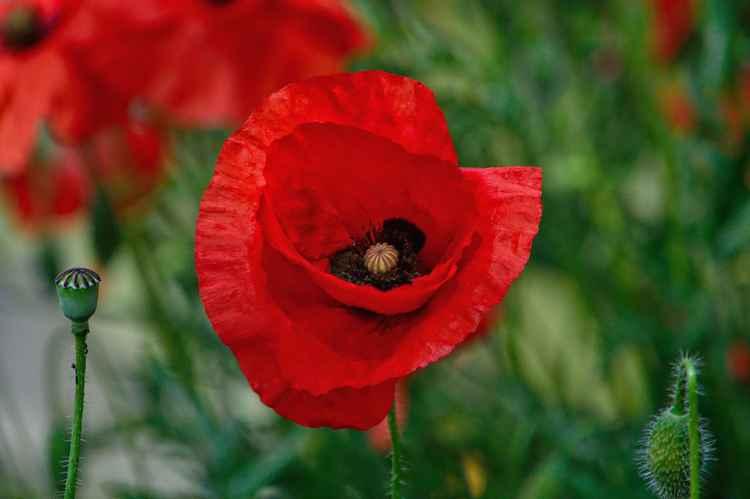 Poppy 1 (Paper)