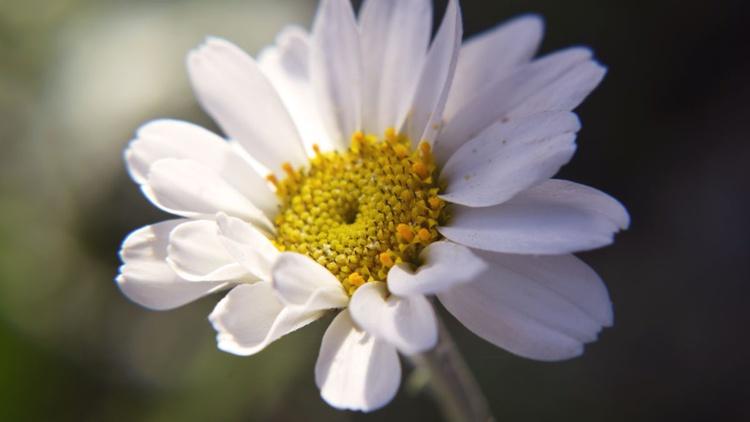 Summer Daisy - Image 0