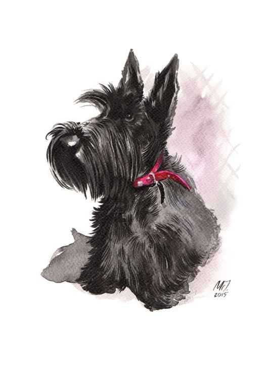 Scottish Terrier with a red collar -