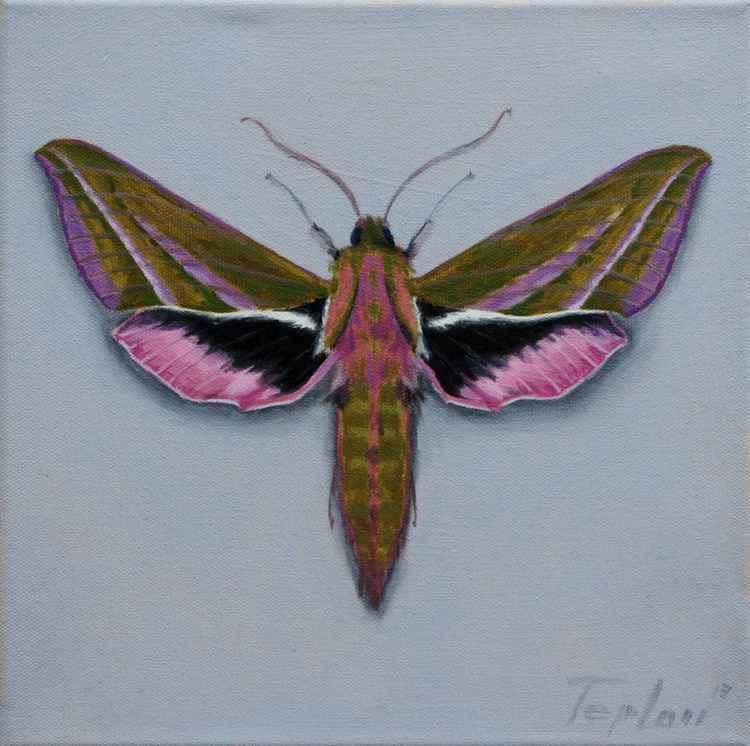 Hawk Moth -