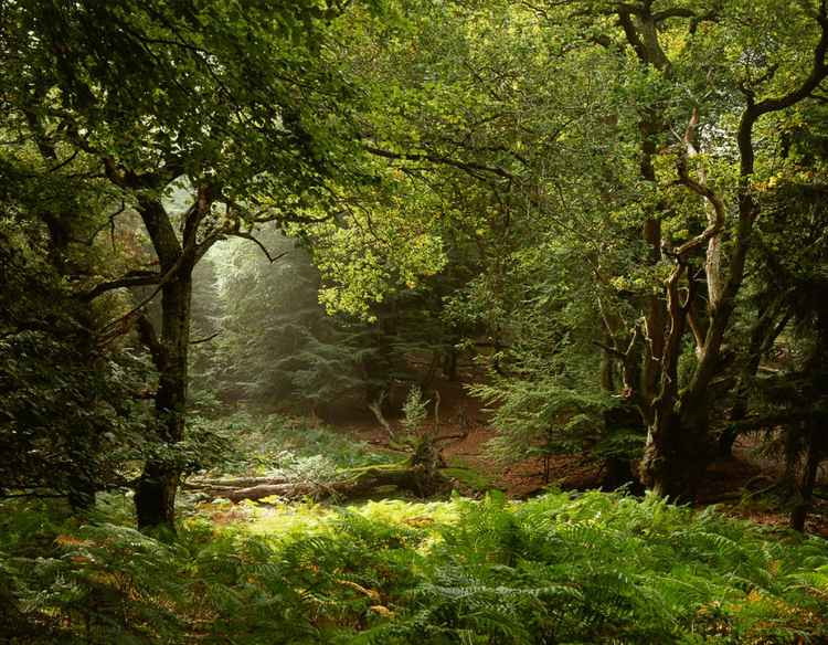 Sunlight in an English Forest -