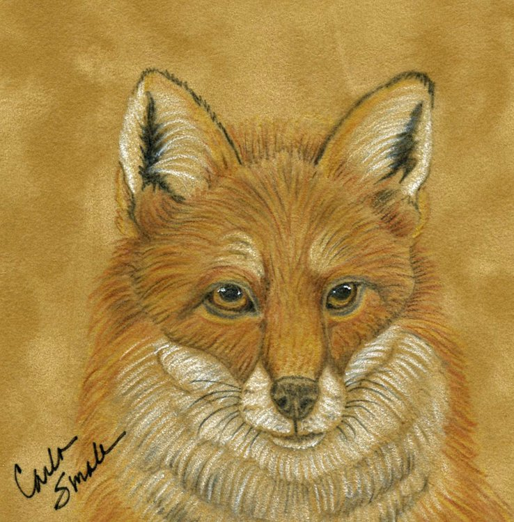 Red Fox Wildlife Art Original  Original Drawing On Suede Carla Smale