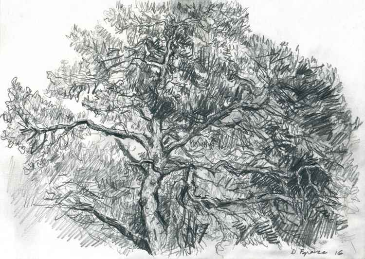 An Old Pinetree -