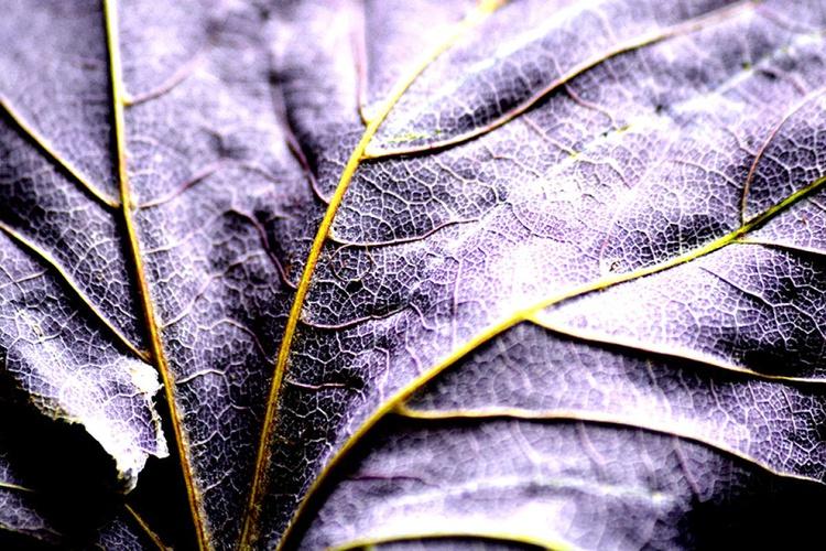 Purple Side of the Leaf - Image 0