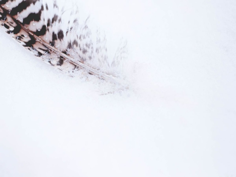 feather in the snow - Image 0