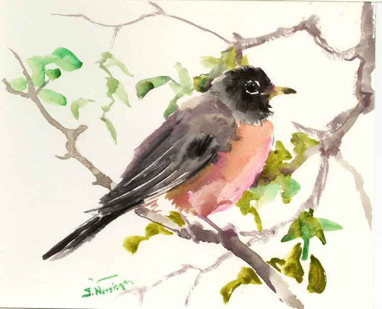 American Robin -