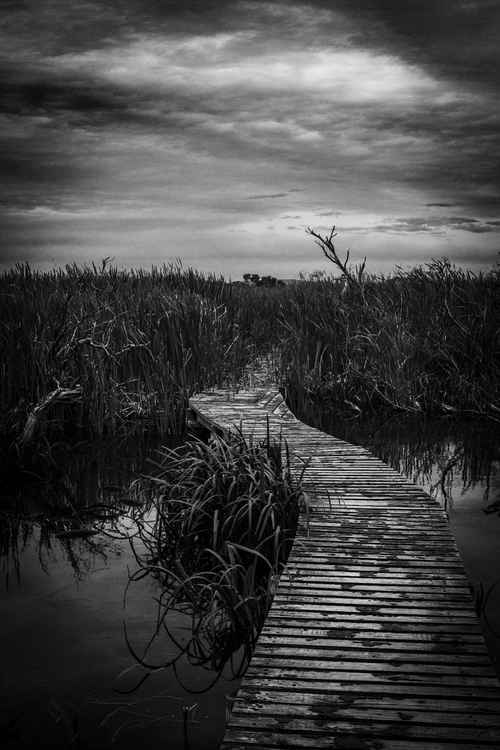 Boardwalk through swamp -