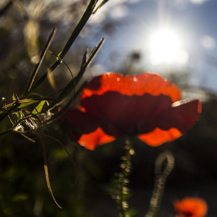 Poppy - Image 0