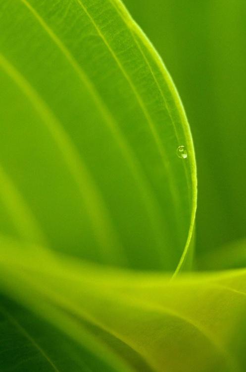 Hosta droplet - Image 0