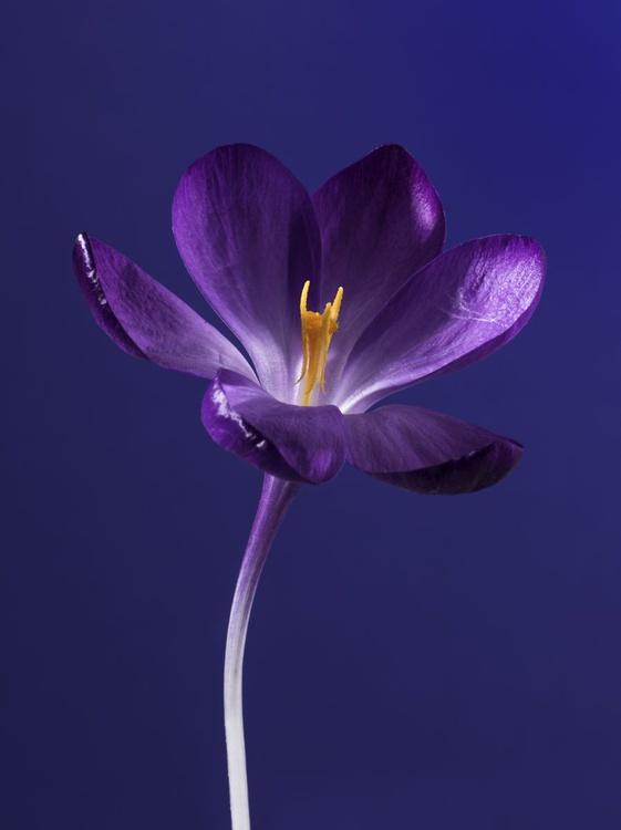Purple Crocus on a Blue Background - Image 0