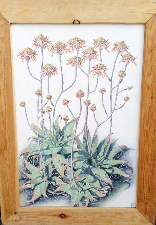 Aloe Maculata Cluster in winter flower - Image 0