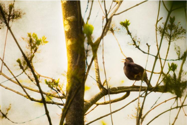 Blackbird Dawn - Image 0