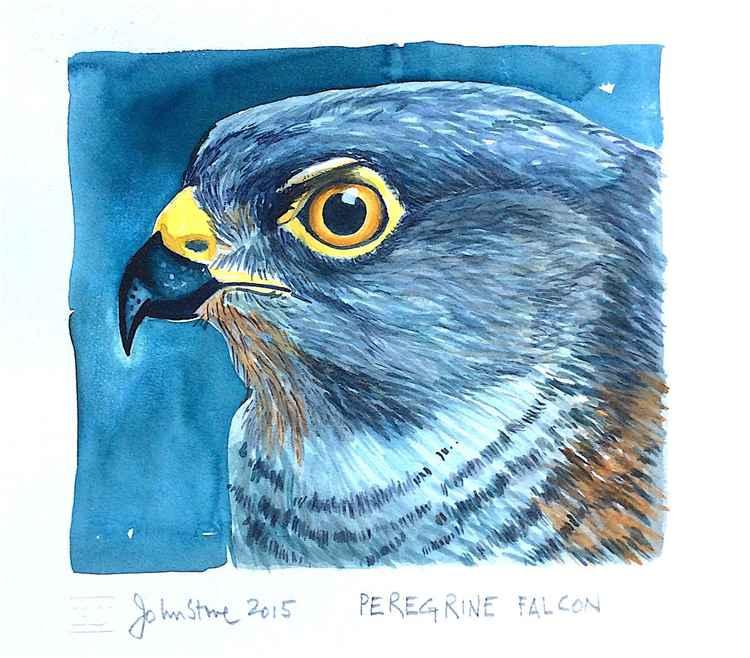 PEREGRINE FALCON -