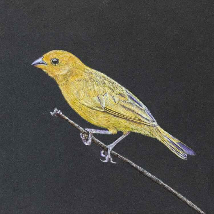 "Original pastel drawing ""Saffron Finch"""