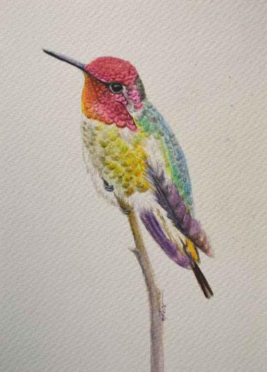 Anna's Hummingbird -