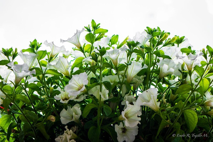 White Geraniums, Assis - Image 0