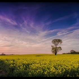 """Oilseed Rape Fields - Aluminium Dibond"" by Michelle Williams Photography"