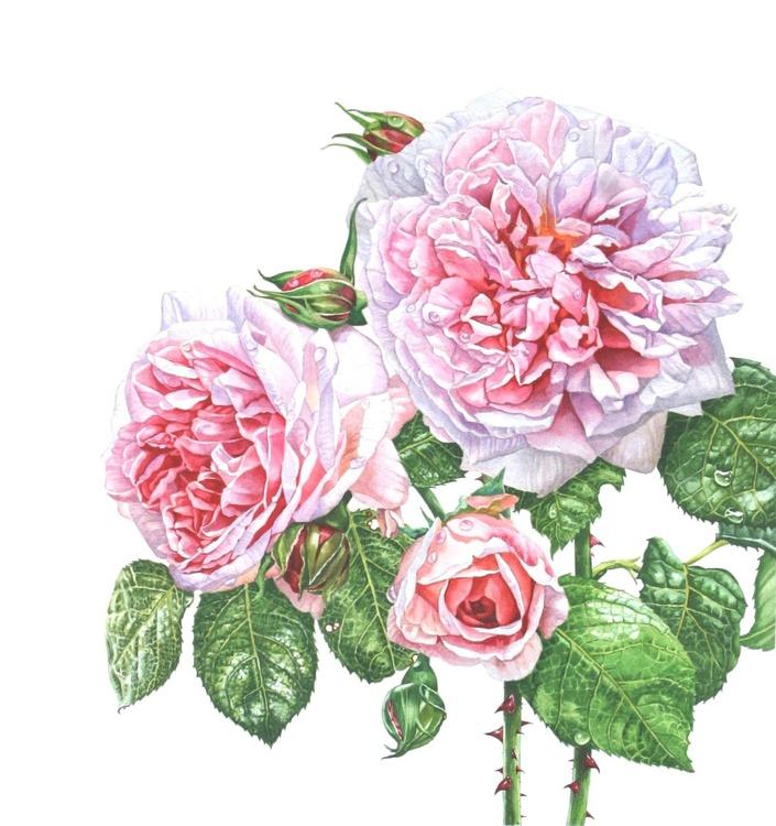'Rosa Eglantine' - Image 0