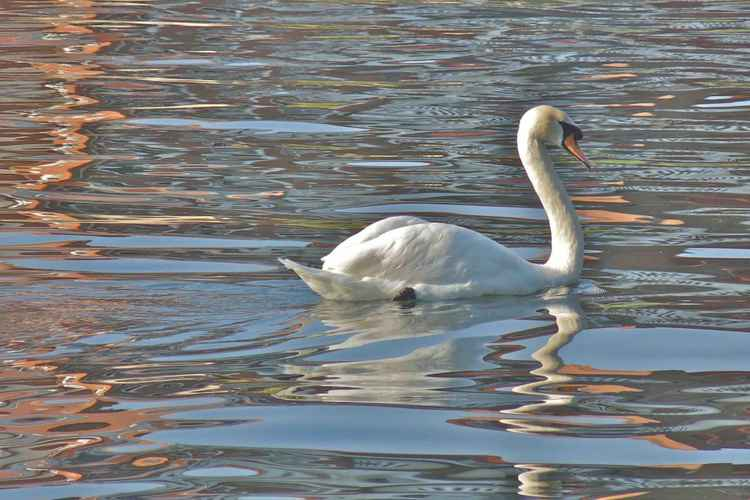 Swan on the Thames -