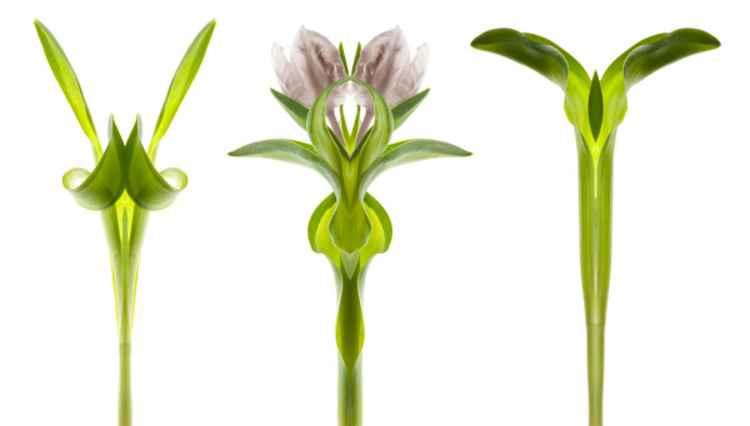 Green Tulip 2 -