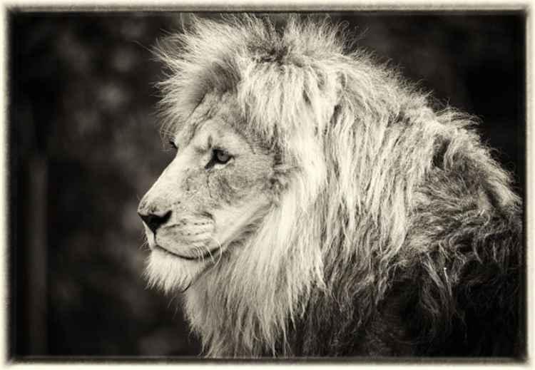 The lion (Panthera leo) -