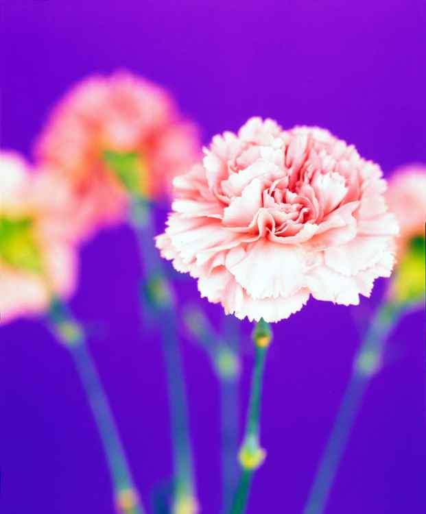 Carnations -