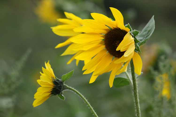 Sunflowers in the wind -