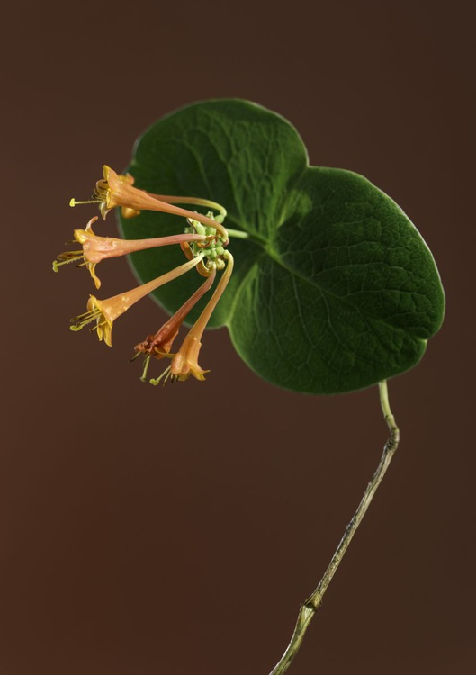 Coral Honeysuckle on a Mid Brown Background - Image 0