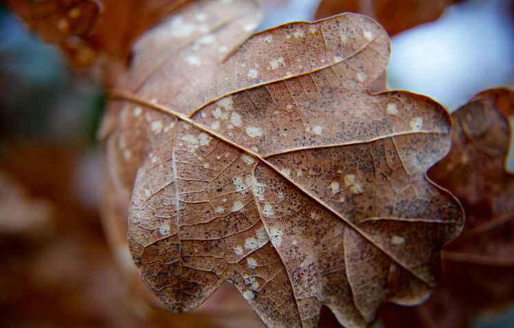Autumn Oak Leaf.