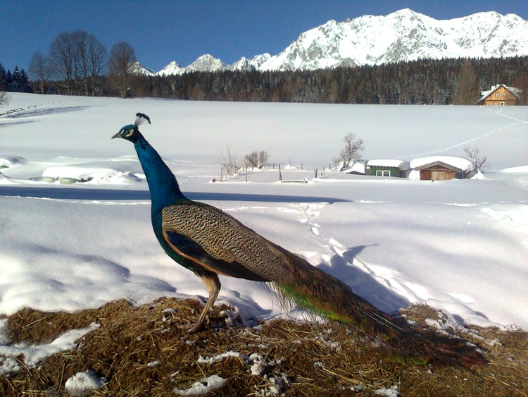 PEACOCK ON THE  SNOW - LIMITED SPECIAL OFFER - READ MORE - Image 0