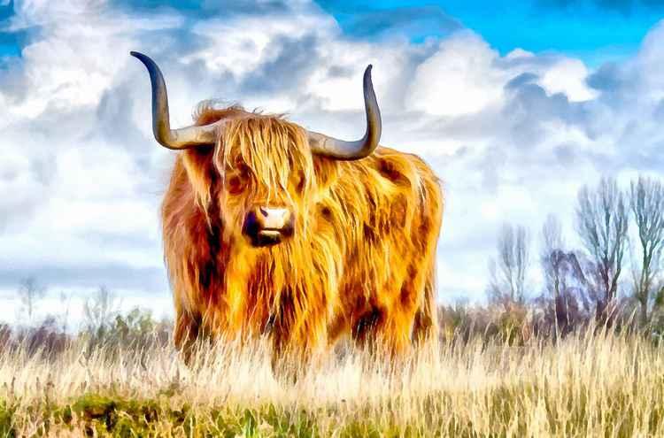 Highland Cow -