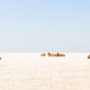 SUNBATHING COWS by Andrew Lever